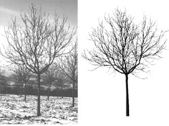 Photograph and virtual image of a walnut tree