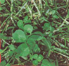Photograph of a white clover canopy