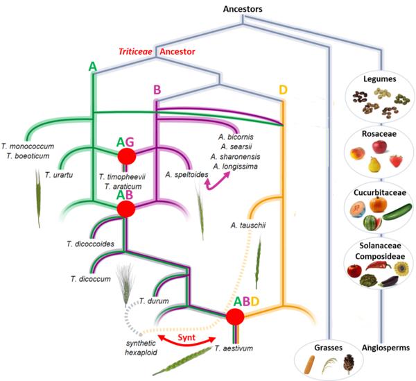 Evolutionary model of the modern bread wheat genome